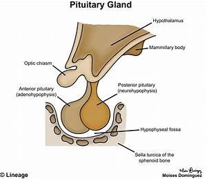 Posterior Pituitary - Neurology