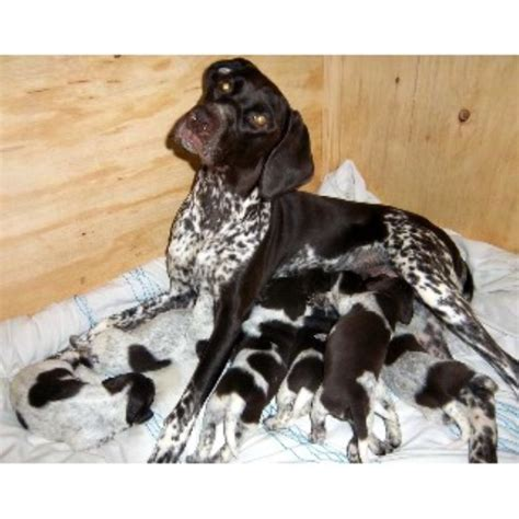 German Shorthaired Pointer Vs Lab Shedding by Gorgeous Pedigree German Shorthaired Pointer Pups German