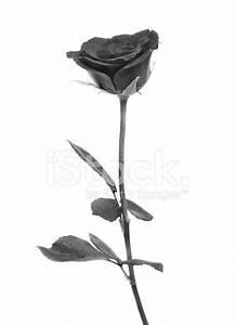 Black Rose on Over White Background Stock Photos