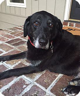 charleston sc labrador retriever mix meet artie  dog