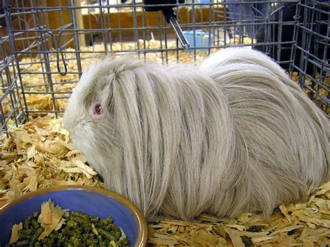 guinea pig breeds list of guinea pig breeds wikipedia