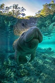 National Geographic Manatee