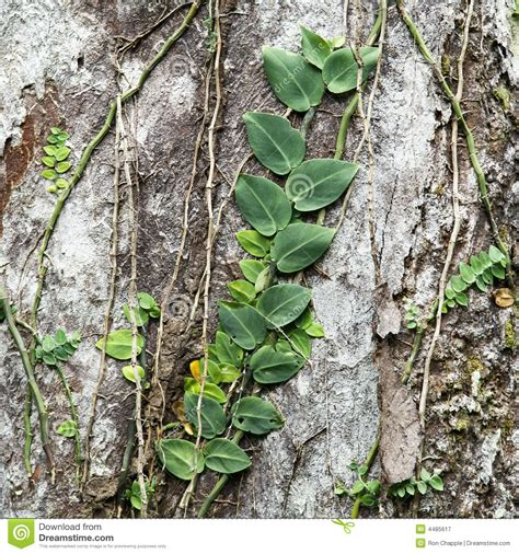Vines Climbing Tree Stock Image Image Of Queensland