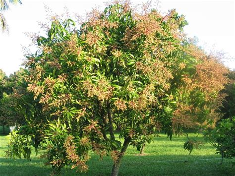alfanso mango tree wallpapers full hd wallpaper cave