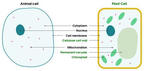filedifferences  simple animal  plant cells en