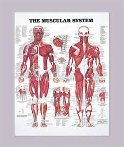 The Human Muscular System Anatomy Detailed Diagram 20