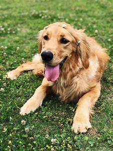 Golden Red River : golden retriever info temperament life expectancy puppies pictures ~ Orissabook.com Haus und Dekorationen