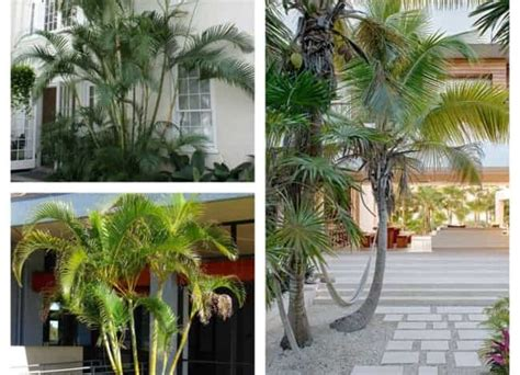Cuidados com a planta Coco, coqueiro ou palmeira ...