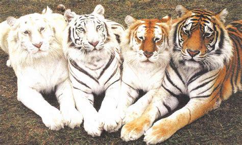 Albino Tiger Black White Golden Bengal