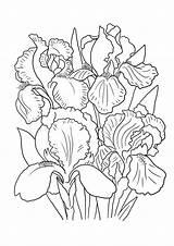 Coloring Flower Pages Lily Iris Printable Print Sheet Drawing Getcolorings Irises Drawings sketch template