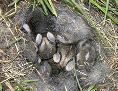 traechtiges kaninchen  bauen sie einen nestkasten