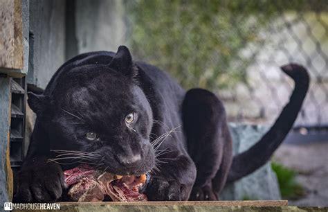 zoo artis eating jaguar enclosure panther enclosures male breeding programme european encounters close madhouseheaven