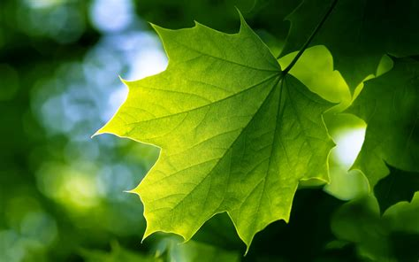 Green Leaf Wallpapers  Hd Wallpapers  Id #9919