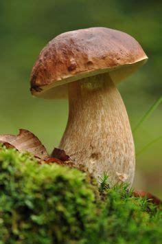 Maronen Pilze Im Garten by 84 Besten Essbare Pilze Bilder Auf In 2018