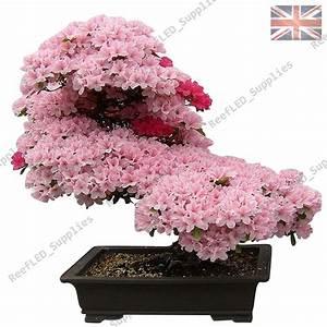 Sakura Baum Kaufen : seltene kirschbl ten bonsai japanisch sakura baum 10 keimf hige samen uk ebay ~ Frokenaadalensverden.com Haus und Dekorationen