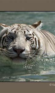 Bengal White Tiger | Wildlife, Animals, Portrait photography