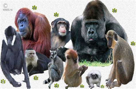 How Many Different Types Of Apes Are There | Animal ...