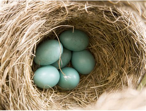 what is unusual about this robin s nest