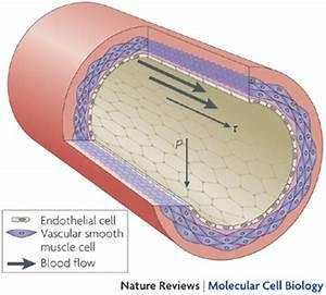 stem cells repair artery