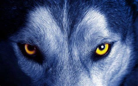 Animal Fur Wallpaper - nature animals yellow wolf closeup fur