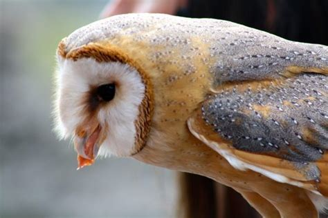 What Do Barn Owls Eat by What Do Barn Owls Eat Barn Owls Diet Kidz Feed