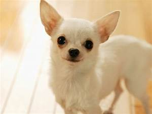 Chihuahua dog pictures - Cute pet dog... - XciteFun.net
