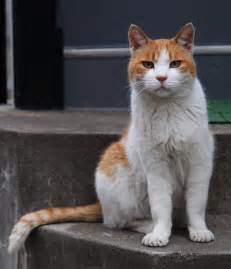 tabby cat orange file orange and white tabby cat with the impressive