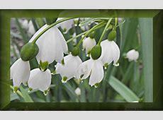 Fotos mit Blumen Maiglöckchen Foto free Wallpaper zum