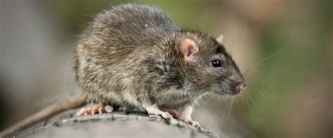 Ratten Bekämpfen ♥ Liebe Deinen Garten