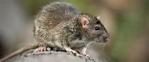 ratten bekampfen liebe deinen garten With französischer balkon mit ratten im garten bekämpfen