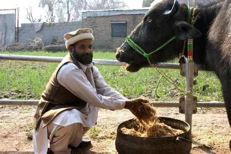 picture cattle farmer  pakistan