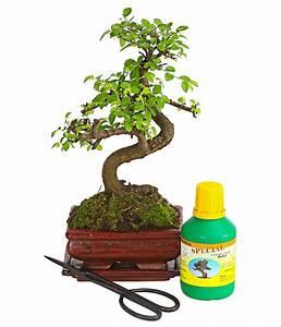 Bonsai Chinesische Ulme : bonsai anf nger geschenkset chinesische ulme dehner ~ Sanjose-hotels-ca.com Haus und Dekorationen