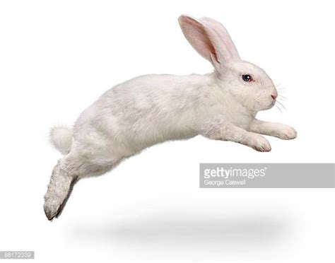 hopping bunny rabbit stock photos and pictures getty images