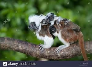 cotton-top tamarin (Saguinus oedipus) adult with twin ...