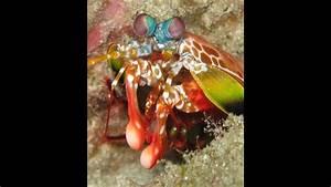 Mantis Shrimp Smash