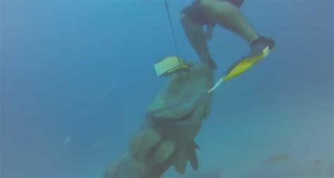goliath grouper catch attacks steals spearfisherman