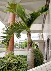 Spindle Palm Tree - Hyophorbe verschaffeltii