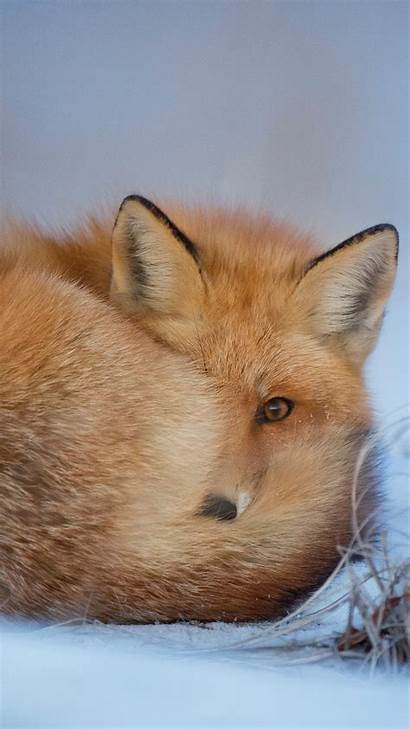Winter Fox Nature Cold Android Wallpapers Visiter