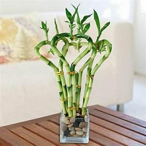 Bambus Pflege Zimmerpflanze : zimmerpflanzen pflegeleicht und auch f r anf nger geeignet ~ Michelbontemps.com Haus und Dekorationen