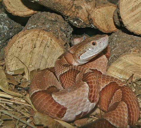 Copperhead Snake Facts And Pictures