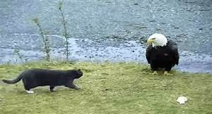 Listen to This Cat's Thoughts as it Stalks a Bald Eagle ...