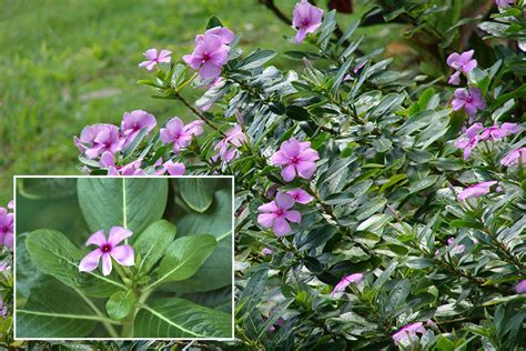 cural impatance of rosy periwinkle periwinkle the great herb to combat diabetes and cancer bigumbrella