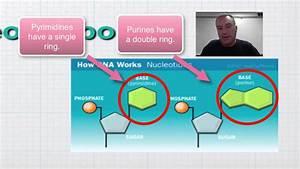 Menu 12a Part 2 - Dna Nucleotide Structure