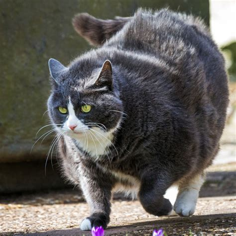 Fat Cat Epidemic: 5 Signs That Your Cat Is Obese - Catster