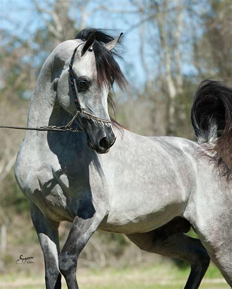 horse arabian horses stallion grey face faheem expensive lsa lone arabians profile pets jaw drops bred bint fa se beauty
