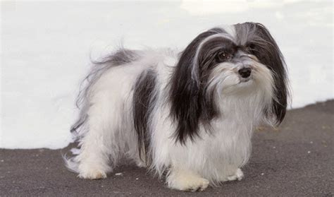 Dogs That Shed Little Hair by Havanese