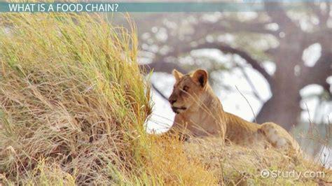 Install Lion Food Web Diagram