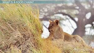 The Food Chain Of A Lion