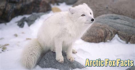 arctic fox facts information  kids habitat adaptations