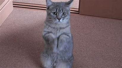 Cat Gifs Animales Giphy Graciosos Beg Succumb